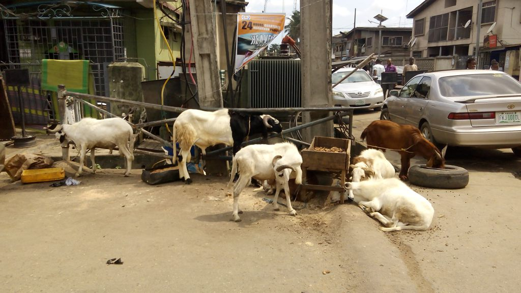 sallah-holidays-how-to-transport-livestock-safely